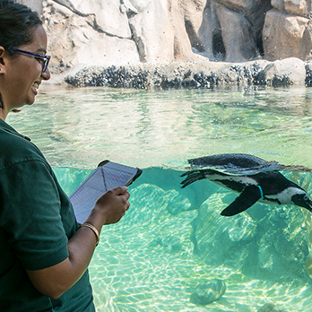Animal Care staff observing a swimming penguin in exhibit