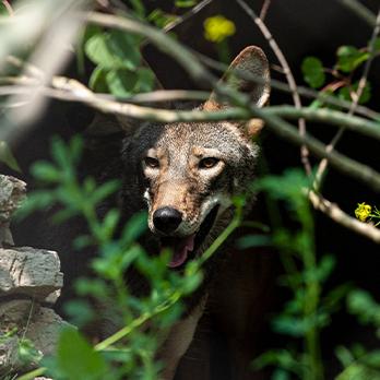 Red wolf peering through foliage in exhibit