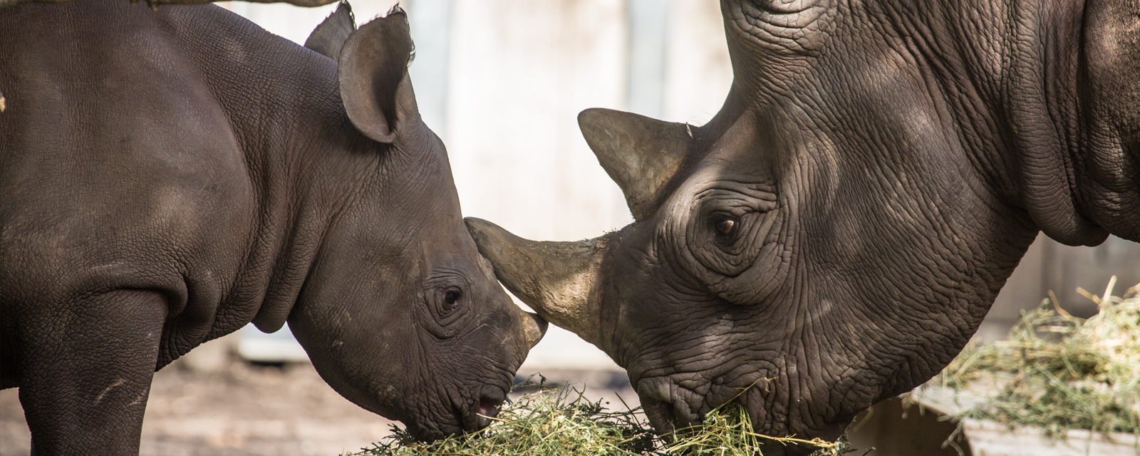 Eastern black rhino and calf in exhibit