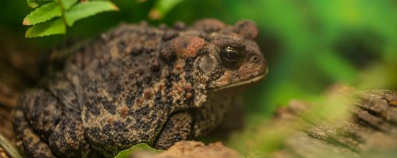 American toad in exhibit