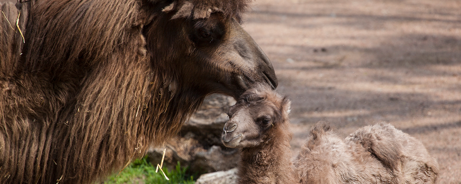 A Bactrian camel licks its offspring