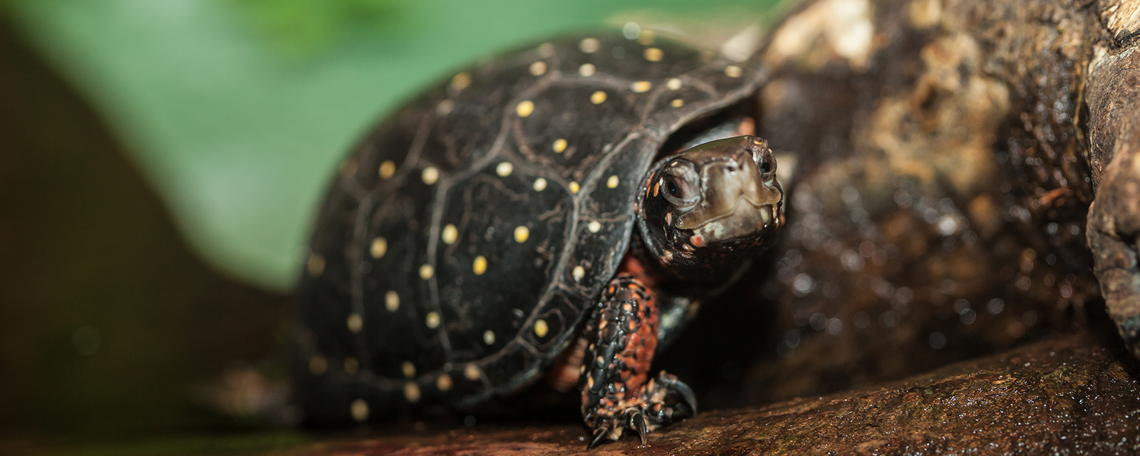 Spotted turtle in exhibit
