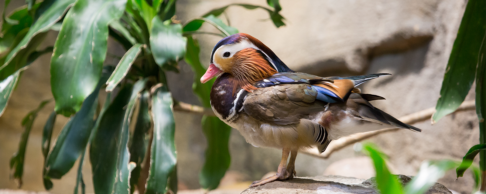 Mandarin duck in exhibit