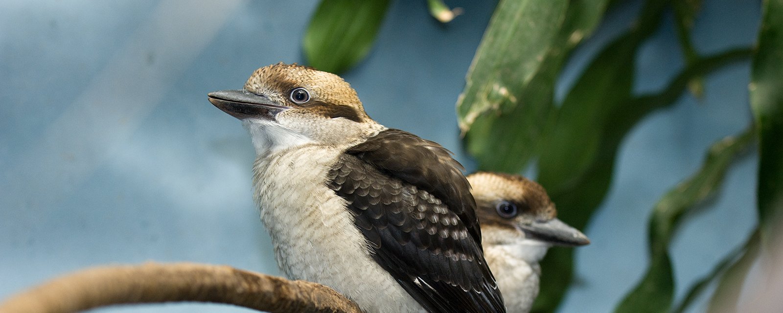 Laughing kookaburra in exhibit