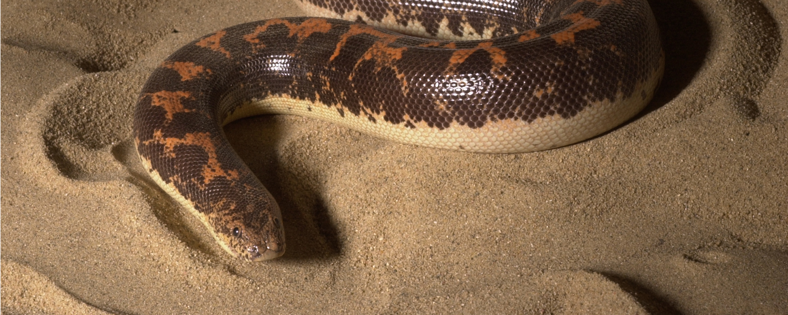 Kenya sand boa in exhibit