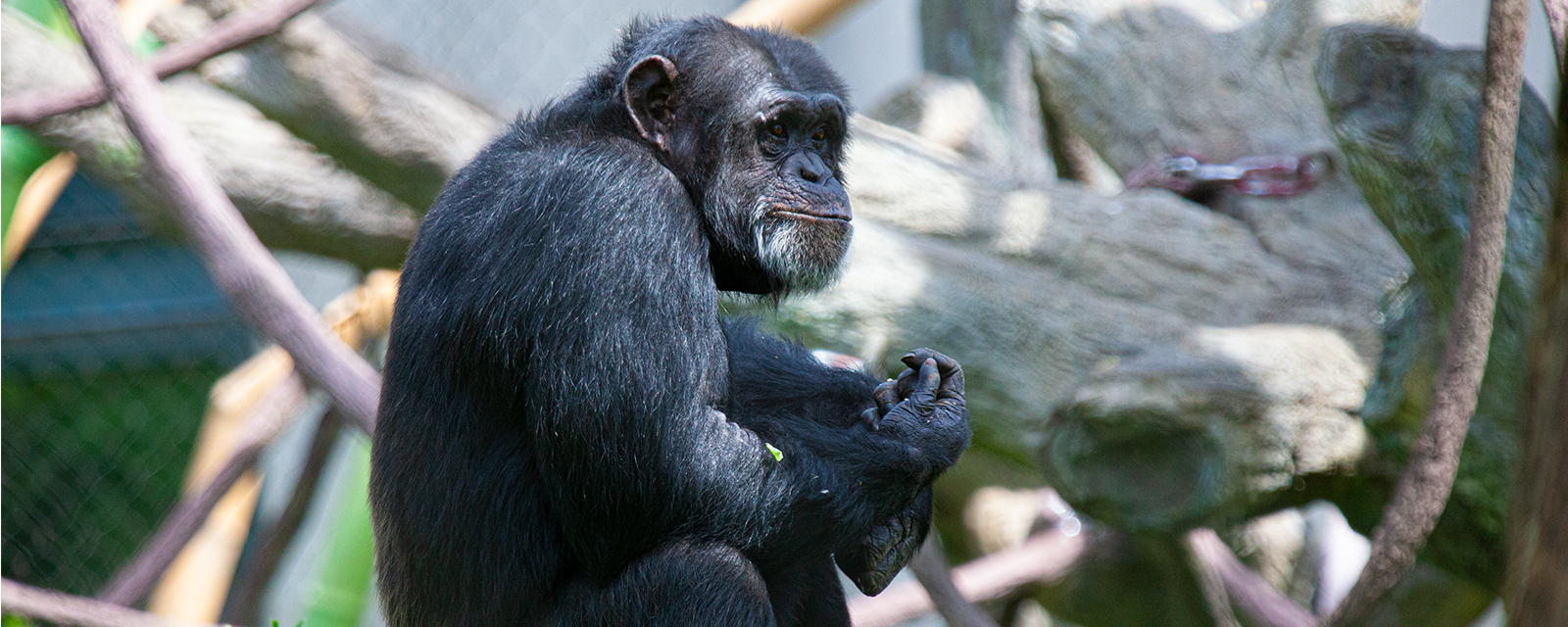 Chimpanzee in exhibit