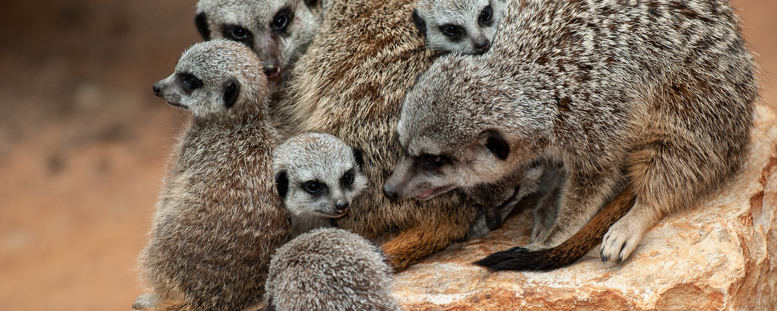 Meerkats gathered together in exhibit