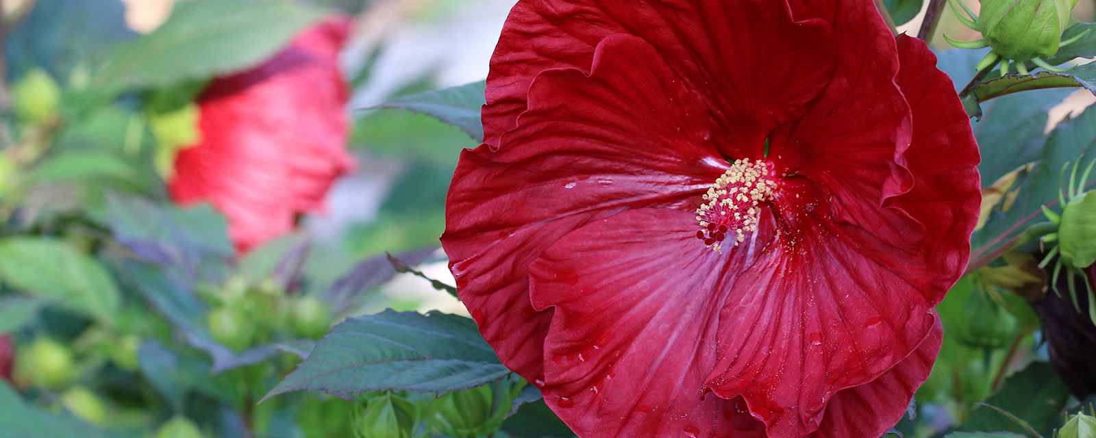 Cranberry crush hardy hibiscus