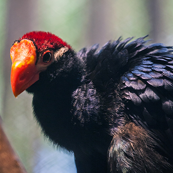 Violaceous turaco in exhibit