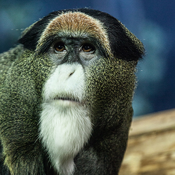 DeBrazza's monkey in exhibit