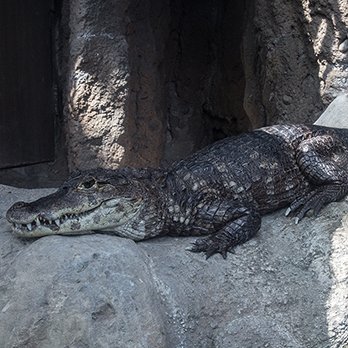 Spectacled caiman in exhibit