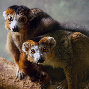 Crowned lemur in exhibit