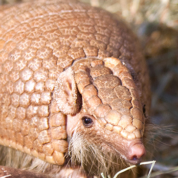 Southern three-banded armadillo in exhibit