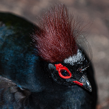 Crested wood-partridge in exhibit