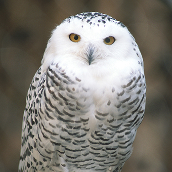 Snowy owl in exhibit
