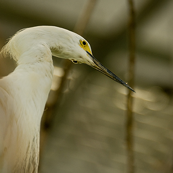 Snowy egret in exhibit