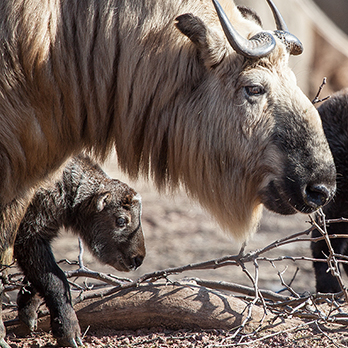 Sichuan takin in exhibit