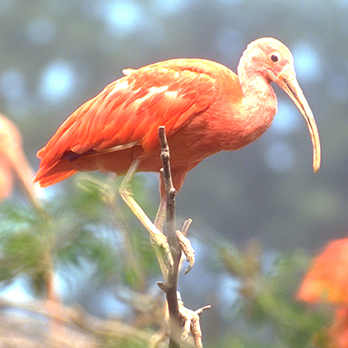 Scarlet ibis in exhibit
