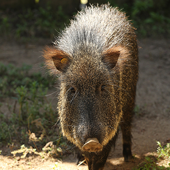 Chacoan peccary in exhibit
