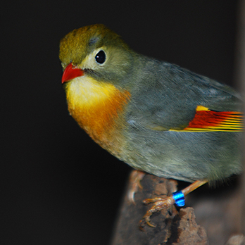 Red-billed leiothrix in exhibit