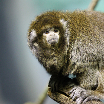 bolivian gray titi monkey in exhibit