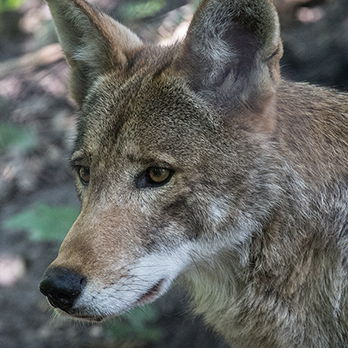 Red wolf in exhibit