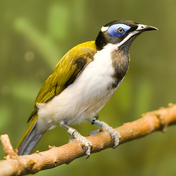 Blue-faced honeyeater in exhibit