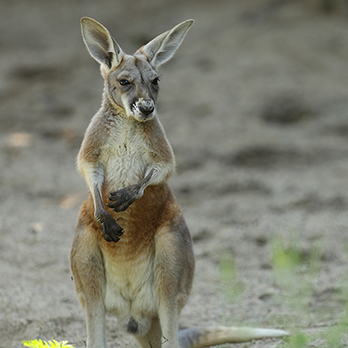 Red kangaroo in exhibit
