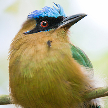 Blue-crowned motmot in exhibit