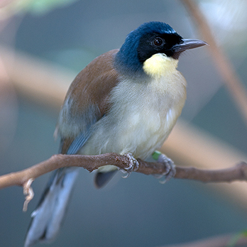 Blue-crowned laughingthrush in exhibit