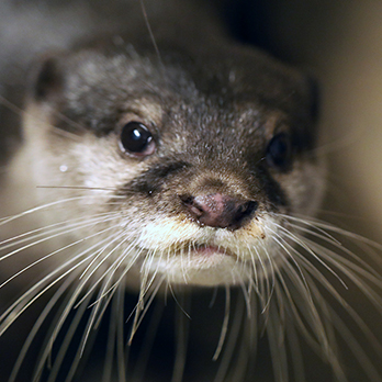 Asian small-clawed otter in exhibit