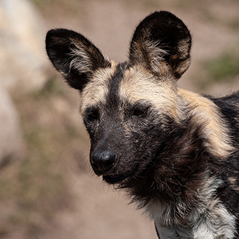 African painted dog in exhibit