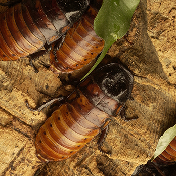 Madagascar hissing cockroach in exhibit